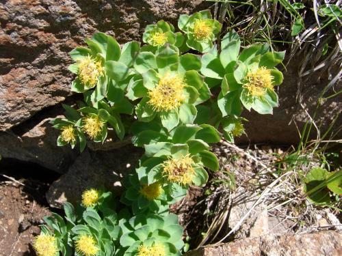 """八ヶ岳のイワベンケイ イワベンケイ肉厚な葉が特徴。""""> ウサギギク葉がウサギの耳"""